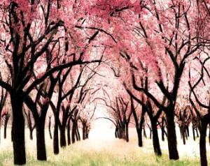 cherry blossom holiday