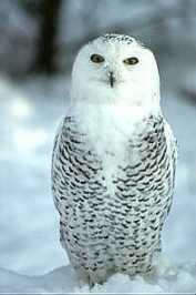 snowyowl